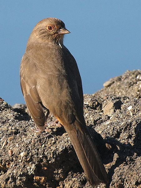 California Towhees live in the Bay Area year round and forage on the ground for insects