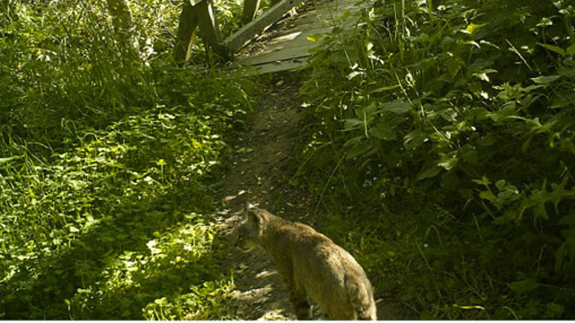 bobcat in marin