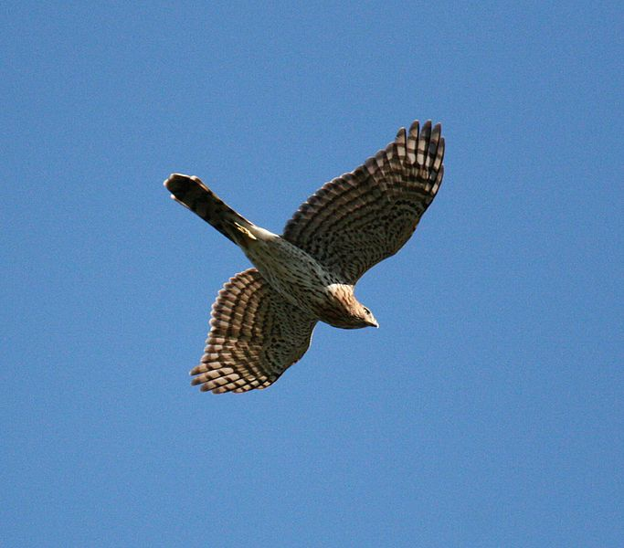 A Cooper's Hawk flyover can silence a whole neighborhood of songbirds. Photo by Matt Tillett