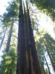 Towering redwoods on the Dipsea
