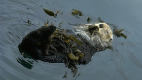 The State of California's Sea Otters