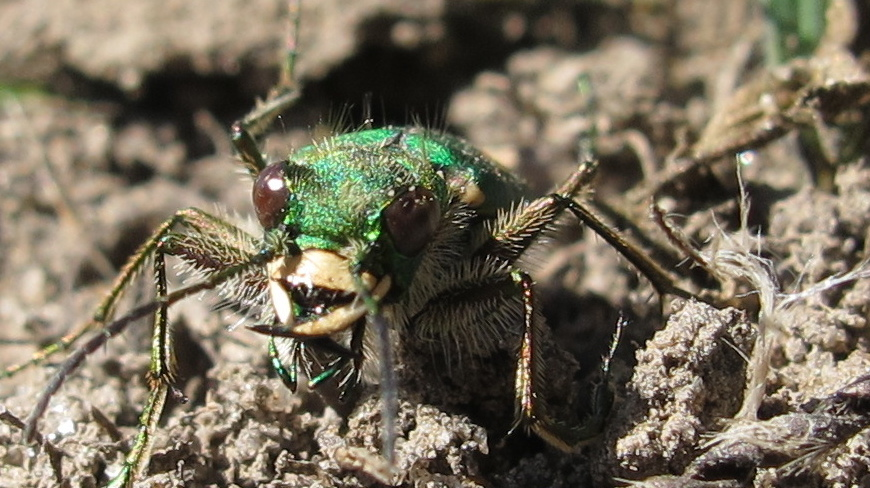 Ohlone tiger beetle