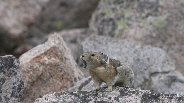 Counting Climate-Challenged Pikas