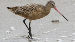 Return of the Shorebirds