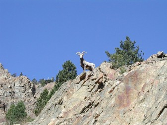 Sierra Nevada bighorn sheep ram being dramatic - California DFG