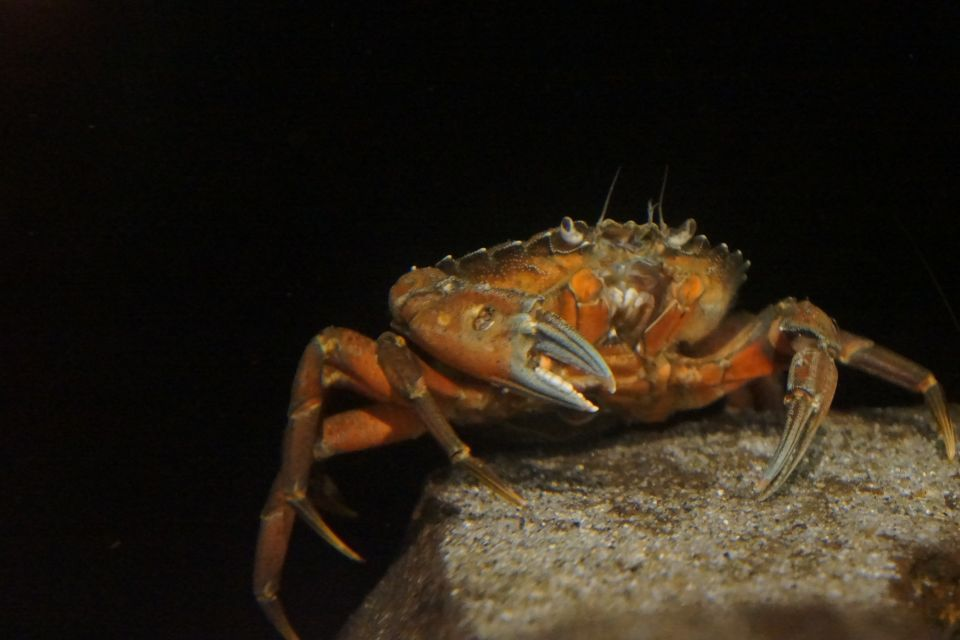 Invasive Atlantic Green Shorecrabs eat Dungeness of same size or smaller.  Photo by Victoria Baird.