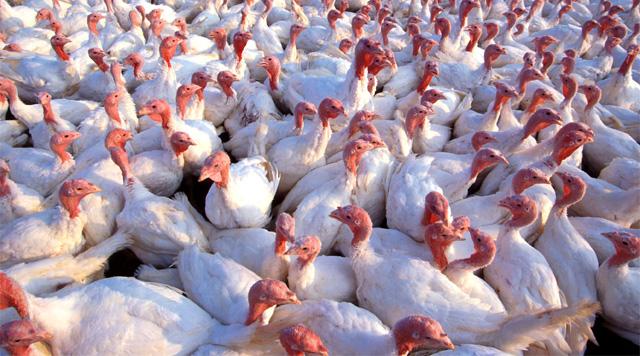 Turkey Trouble: Genetics Gone Too Far?
