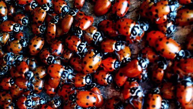Ladybugs gather in the Oakland Hills to spend the winter.  Photo by Sara Fetterly