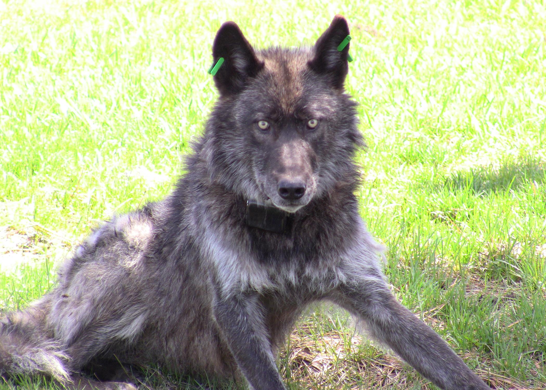Imnaha wolf