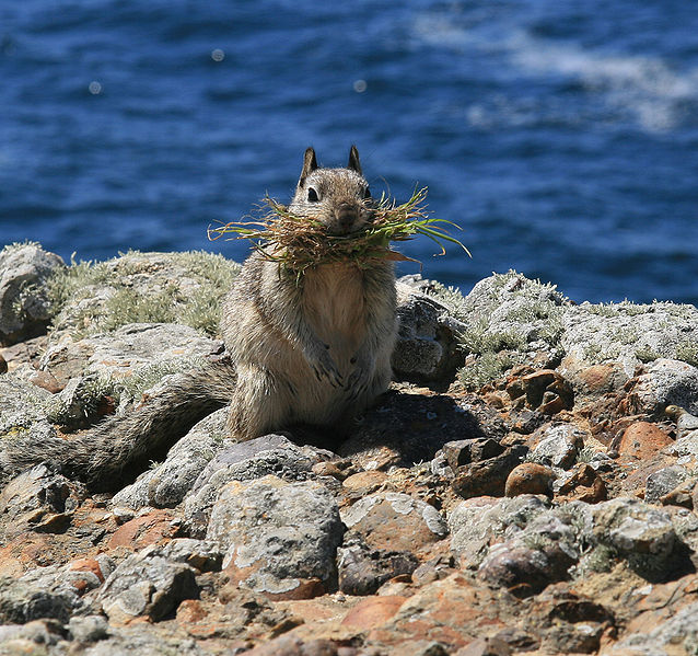 California ground squirrels have colonies along our rocky shores and throughout grasslands.  Photo by Brocken Inaglory.