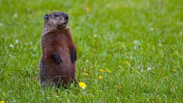 This groundhog, alert to danger, is related to ground squirrels and marmots.