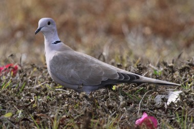 Some birds, like this non-native Eurasian collared dove, are expanding their territories.  The bird count helps monitor their presence and spread.  Photo by Debbie Hurlbert