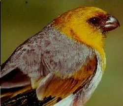 Native Hawaiian birds, like the palila, are endangered from the many pressures non-native species put on their populations.  Image by