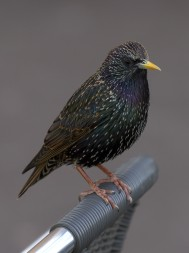 European starlings are found throughout North America and can be traced back to a successful introduction to Central Park in the late 1800s.  Photo by Pierre Sims