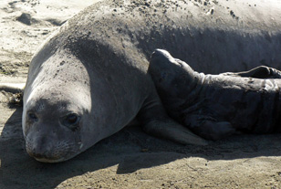 A female and pup at Ano Nuevo State Preserve. (Photo: Lauren Sommer/KQED)
