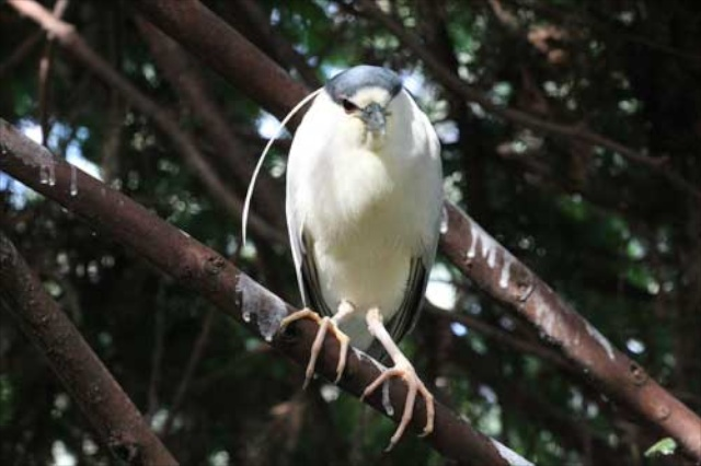 """Lefty,"" the black-crowned night heron at CuriOdyssey."