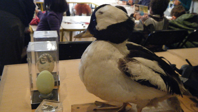 A Bufflehead mounted specimen provided an opportunity for students to examine a bird up close.