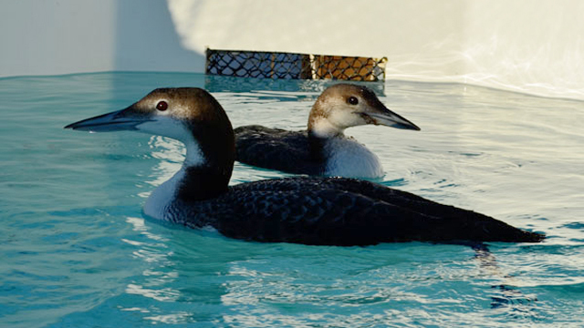 The common loon rescued at Crown Beach (rear bird) swims in a pool at the International Bird Rescue Center. Her injuries can be seen in the stitches on her head. Image courtesy International Bird Rescue Center.