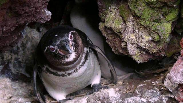Adult Galapagos Penguin