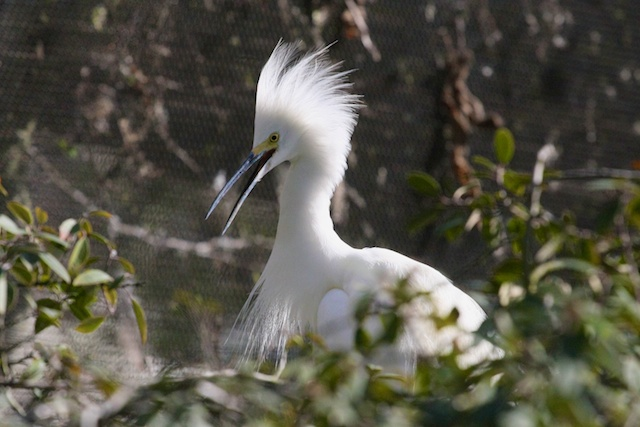"""Jabby,"" the snowy egret at CuriOdyssey"