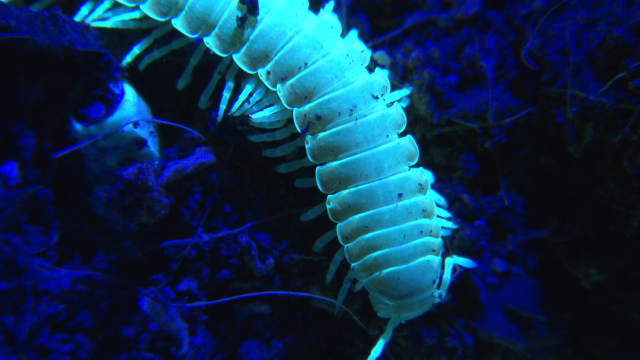 Science on the SPOT: The Glowing Millipedes of Alcatraz