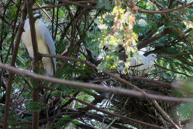 A black-crowned night heron and snowy egret nest together.