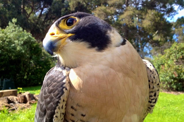 A peregrine falcon at CuriOdyssey in San Mateo.
