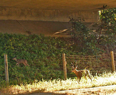Deer crossing under I-280 in the Bay Area, as captured by a wildlife camera. Scientists say fencing could help direct animals to these spots. (Photo: UC Davis Road Ecology Center)