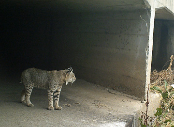 A bobcat uses an existing culvert under Highway 152, the site of a wildlife corridor research project by the Nature Conservancy (Photo: The Nature Conservancy Pajaro Connectivity Study).