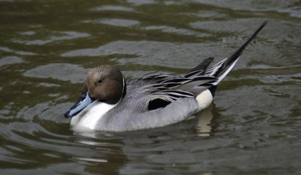 A graceful male Northern pintail duck rests atop the water.  Photo by Mehmet Karatay.
