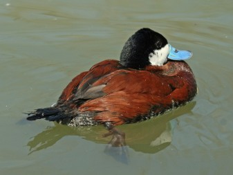Male ruddy duck attracting attention in full breeding plumage.  Photo by Dick Daniels.