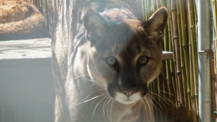 Top Cats: How Pumas and Other Apex Predators' Populations Affect The Big Biodiversity Picture