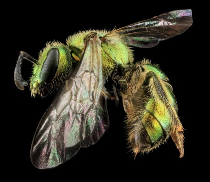 Augochlorella aurata, one of the four thousand bee species native to the United States. Image by Sam Droege, USGS Native Bee Inventory and Monitoring Program.