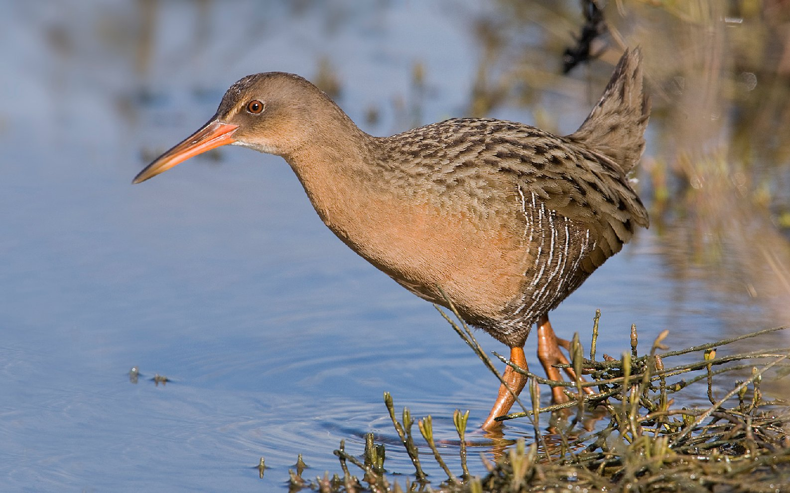 "The California Clapper Rail, an endangered species, would benefit by the expanded habitat provided by a ""horizontal levee."" Photo courtesy of Robert Stronck, stronckphoto.com"