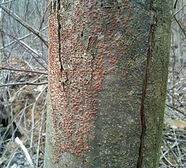 These orange spots will eventually do this tree in.  Just like it has with most every other American chestnut.  Image courtesy of Wikimedia commons.