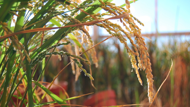 Genetically engineered rice at the University of California at Davis.