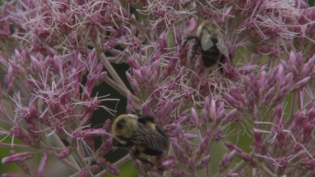 Native bees, like these bumblebees visiting flowers in the University of Wisconsin Arboretum, may be able to replace some of the agricultural pollination services provided by honeybees, which are currently struggling.