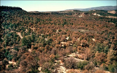 In summer 2002, pinyon pine trees in the Jemez Mountains near Santa Fe, N.M. began dying en masse from drought stress and associated bark beetle outbreak. (Photo by Craig D. Allen, USGS)