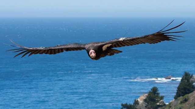 With Condors on the Brink, California Considers a Lead-Bullet Ban for Hunters