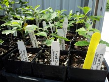 Dwarf Chinkapin Oak tree starts, at the Nebraska Statewide Arboretum greenhouse. (Photo by Ariana Brocious, NET News)
