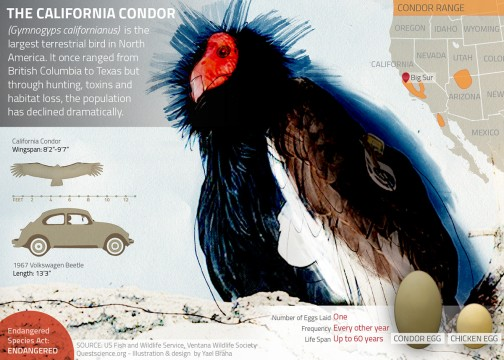 With Condors on the Brink, California Considers a Lead