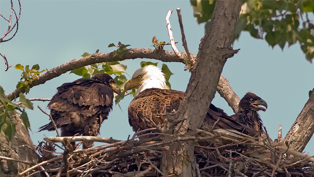 Photographer Al Freeman caught this bald eagle family at home in a tree behind Old Dutch Tavern in Sandusky, Ohio, near Lake Erie, in 2009. Credit: Al Freeman