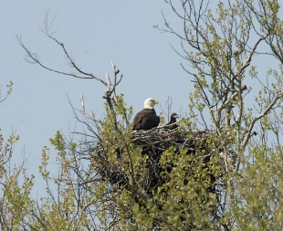 This bald eagle family took up residence on a public golf course in Ohio's Pickaway County, not far from the state capital of Columbus, in 2008.  Credit:  Tim Daniel ODNR/Wildlife.