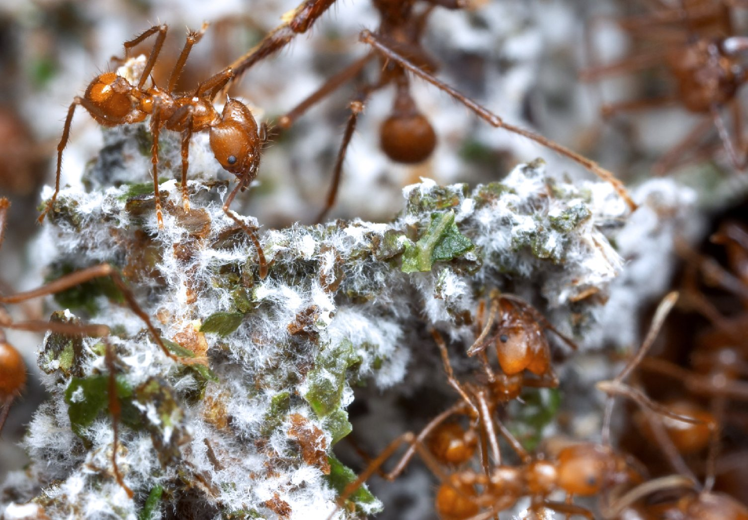 Leafcutter ants, native to Central and South America, can't digest the leaves they rely on for food, so they cultivate these gardens of fungi and bacteria to break down plant matter for them.