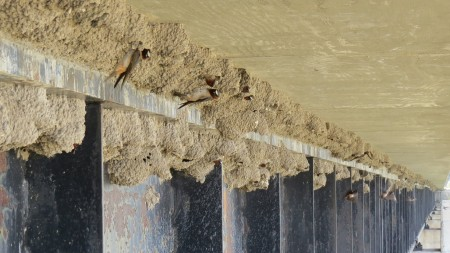 Cliff Swallow Nests on Bridge_IMG_0365
