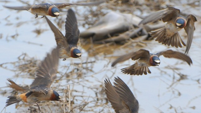 How People Drove an Evolution in Cliff Swallows