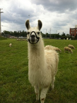 "A ""guardian llama"" protects the flock from urban predators. Credit: Evan Zuzik"