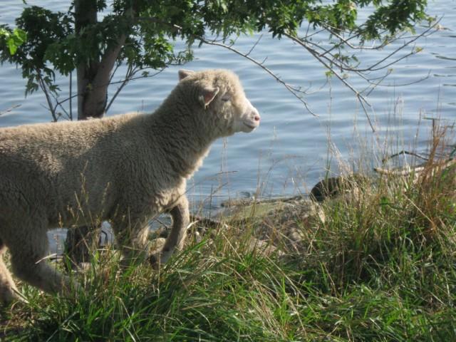 The sheep roam the edges of Lake Erie.