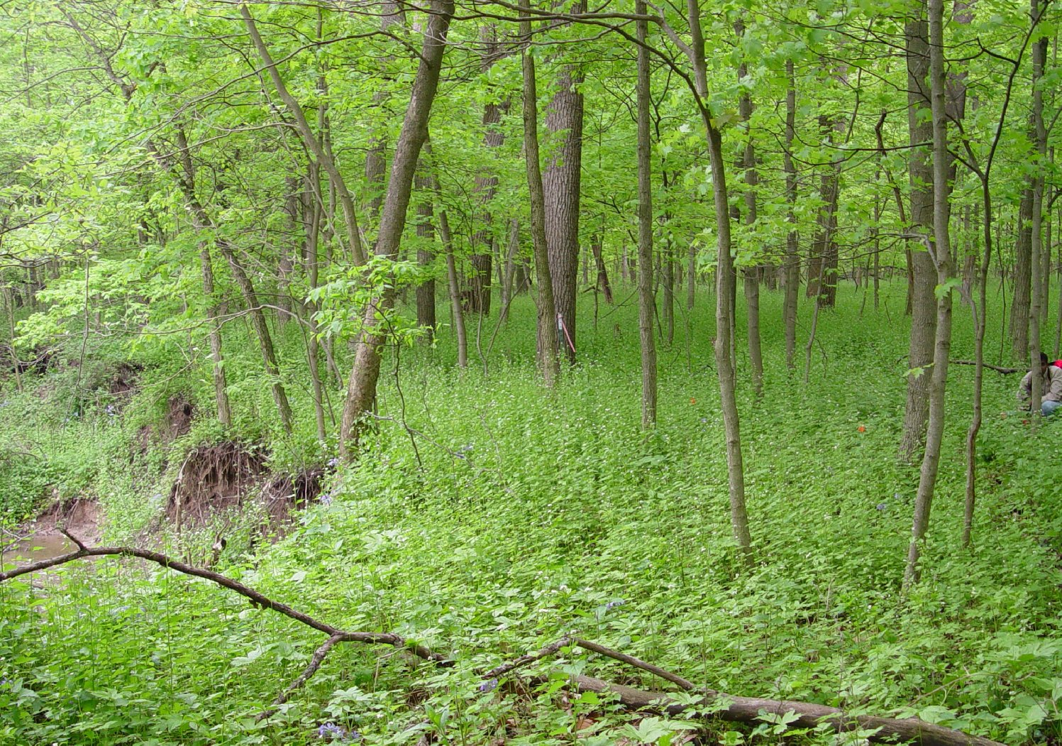 Garlic mustard is crowding out the seedlings of the next generation of trees near a stream bank in Illinois. Photo courtesy of Adam Davis, University of Illinois.