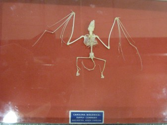 A bat skeleton is on display at the Cleveland Metroparks.